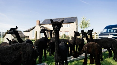 A herd of black alpacas stands at a water trough in a field, with a Mercedes-Benz Sprinter in the background