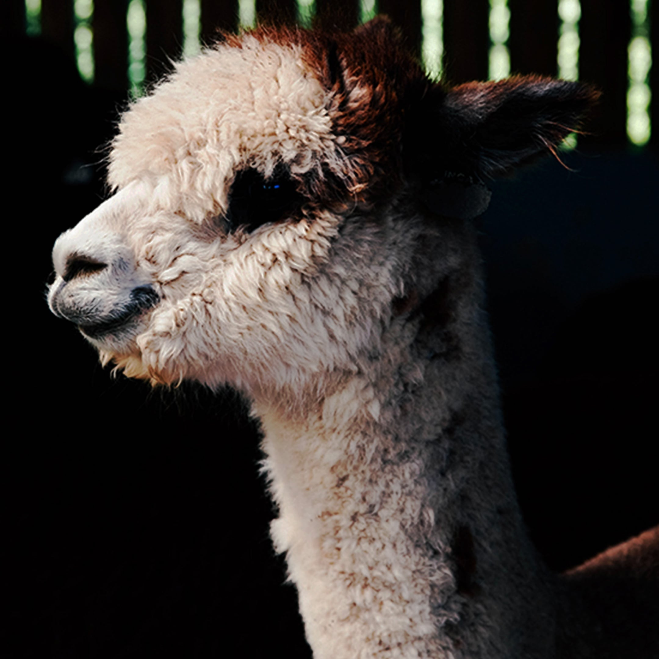 A white-brown speckled alpaca is standing in the stable