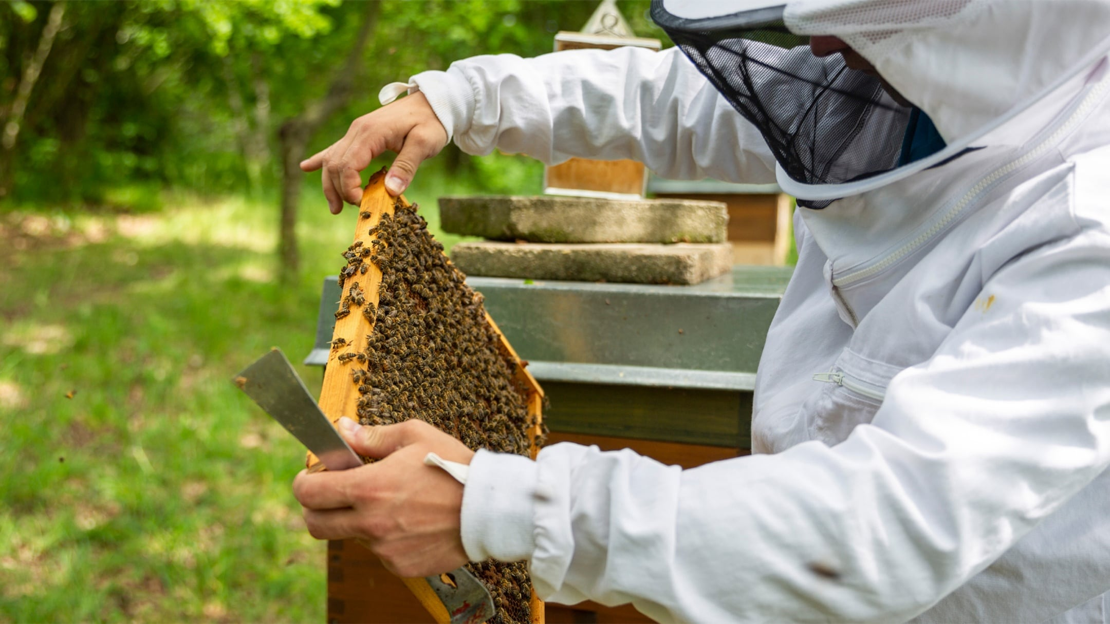 Two hands holding a honeycomb over an open beehive.