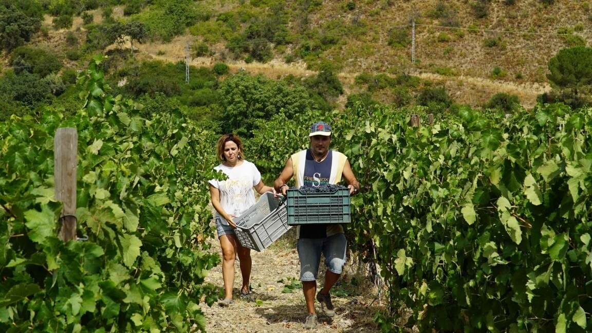 A woman and a man carry baskets full of grapes